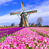 Dutch Bulb Fields and Amsterdam